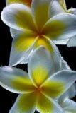 在水白色frangapani下羽毛在与巨额的黑背景开花小气泡 宏观特写镜头shooti 免版税库存照片