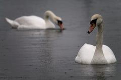 在水的两只天鹅在雨中 免版税图库摄影