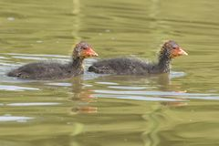 在水的两只老傻瓜小鸡在南安普敦共同性 免版税图库摄影