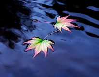 在水的二片槭树叶子 库存图片