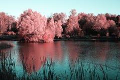 在水的大树与桃红色叶子 美好的反映 免版税图库摄影