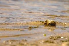 在水的孤独的蜗牛 免版税图库摄影