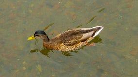 在水的布朗鸭子 免版税库存照片