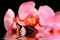 在水的桃红色花 免版税库存图片