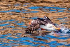 在水的海鹦着陆在布里坦尼法国 免版税库存图片