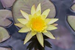 在水的特写镜头美好的莲花黄色与两片莲花叶子 免版税图库摄影