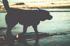 在水的狗剪影在海滩 库存图片