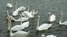 在水的白色天鹅 影视素材