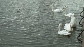 在水的白色天鹅 股票录像