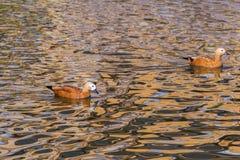 在水的红色鸭子 免版税库存照片