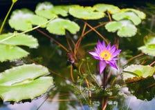 在水的莲花特写镜头 库存照片