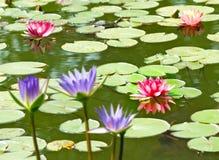 在水的莲花 免版税库存图片