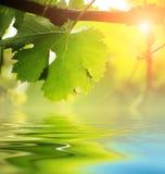 在水的葡萄树叶子 免版税库存照片