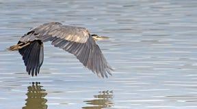 在水的蓝色极大的苍鹭 图库摄影