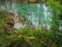 在水的蕨渐近,三姐妹春天Crystal河佛罗里达 库存图片