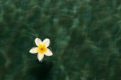 在水的赤素馨花花 库存图片
