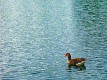 在水的逗人喜爱的野鸭浮游物 库存图片