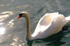 在水的雪白天鹅 免版税图库摄影