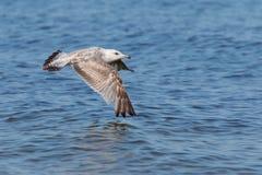 在水的飞行海鸥 免版税库存图片