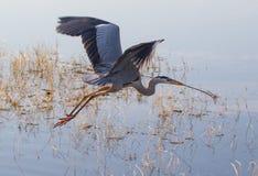 在水的飞行的伟大蓝色的苍鹭的巢 免版税库存图片