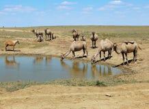 在水的骆驼 免版税库存照片