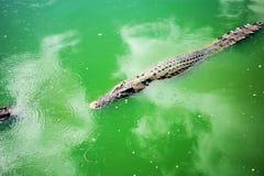 在水的鳄鱼在农场 库存图片