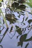 在水的鸭子与许多反射 库存照片