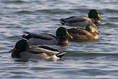 在水的鸭子在冷的冬天太阳 免版税图库摄影