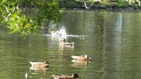 在水的鸭子在城市公园池塘 鸭子在一个池塘游泳在城市公园 鸭子游泳在城市公园 免版税库存图片