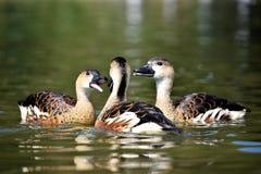 在水的3只鸭子 库存照片