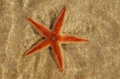 在水的Astropecten sp下的橙色梳子海星 免版税库存照片