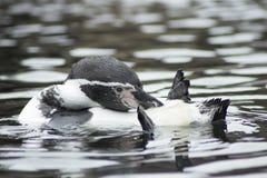 在水的Penquin游泳 免版税库存照片