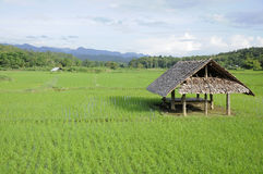 在水稻绿色域的一个小屋 库存图片
