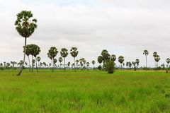 在水稻领域的棕榈树在多云天空下 图库摄影