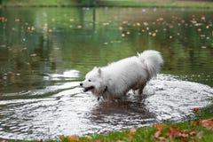 在水跑的湿萨莫耶特人狗 免版税库存图片