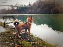 在水边缘的狗  免版税库存图片