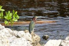 在水边缘的绿色苍鹭 库存图片