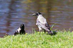 在水附近的两只乌鸦 免版税库存图片