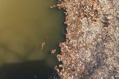 在水附近的干燥叶子 枯萎和落叶由泥泞的河 环境问题 免版税库存照片