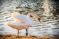 在水附近的白色天鹅 库存图片