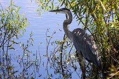 在水附近的蓝色苍鹭 免版税库存图片