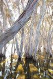在水,袋鼠海岛的树 免版税库存照片
