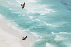 在求爱显示上流的腾飞的旅游猎鹰在海滩上 免版税库存照片