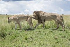在求爱的狮子夫妇 免版税库存照片