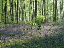 在汉普郡木头的会开蓝色钟形花的草 库存照片