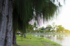 在江边的杉树 图库摄影