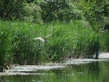 在池塘上的飞行 库存图片