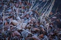 在池塘中冰冷的水盖用霜和结冰的干叶子  库存图片