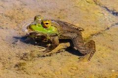 在池塘关闭的池蛙 图库摄影