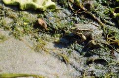 在池塘关闭的青蛙 库存照片